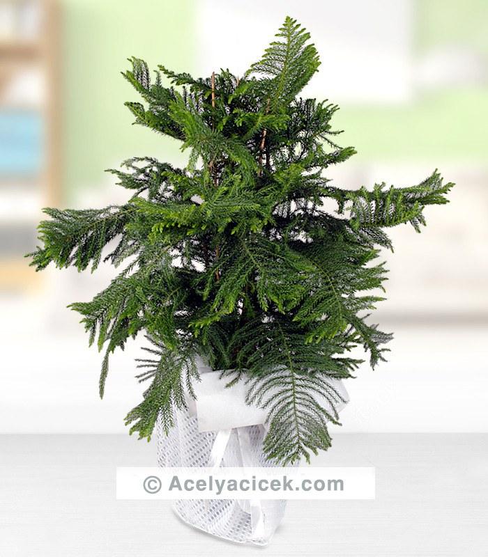 Arokarya Ağacı