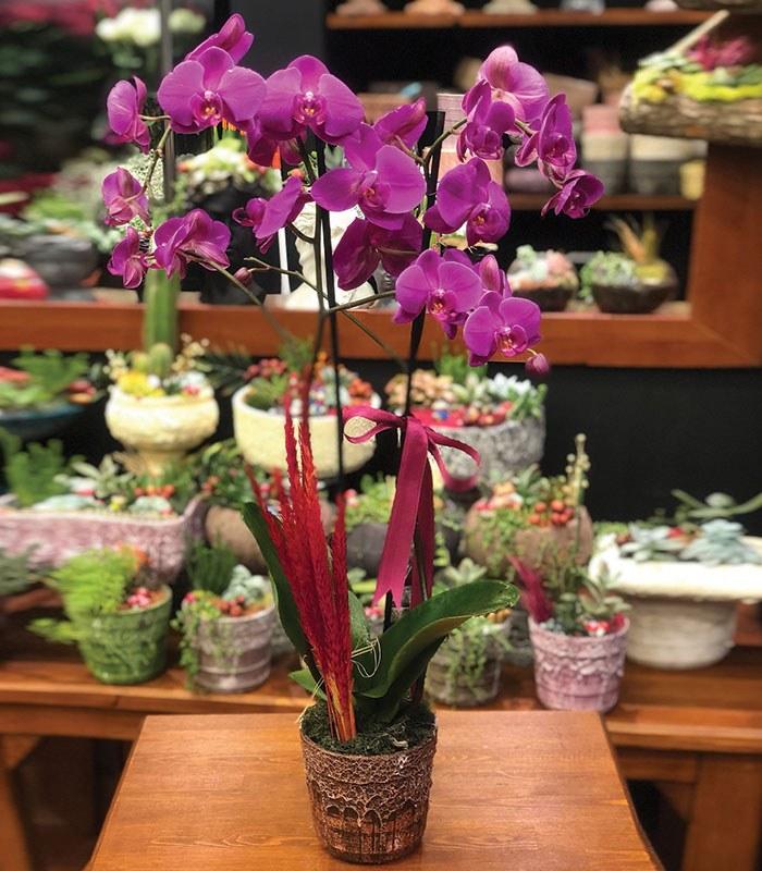 Phalaenopsis Mor Orkide Çiçeği