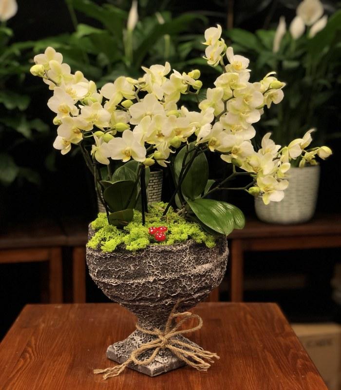 Bugetto Beyaz Orkide