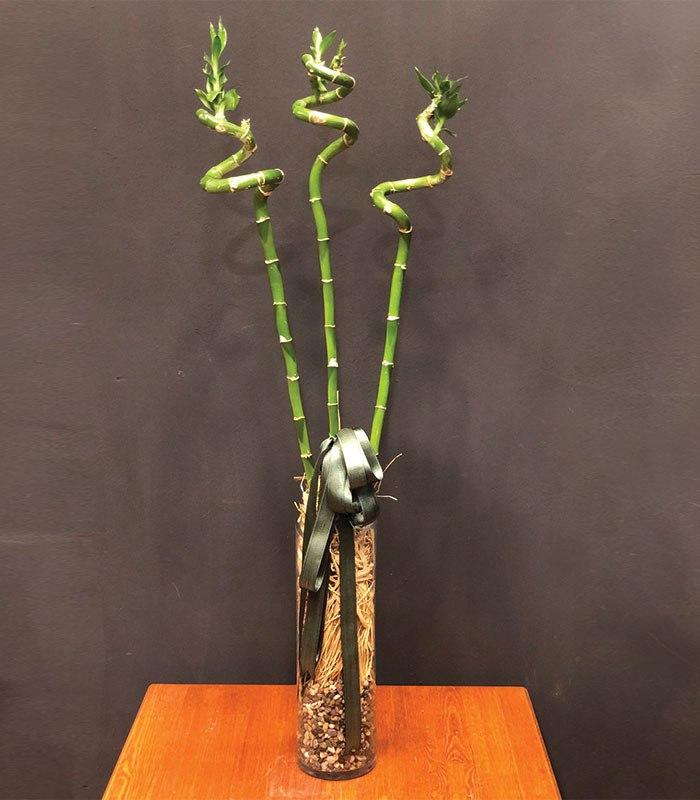 3 Adet Şans Bambu