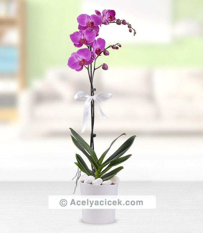 Phalaenopsis Tek Dallı Mor Orkide