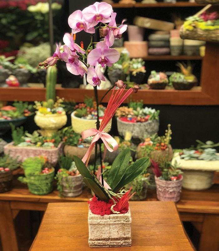 Polinoptus Pembe Orkide