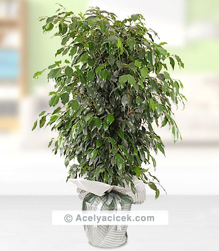 Büyük Boy Benjamin Ağacı