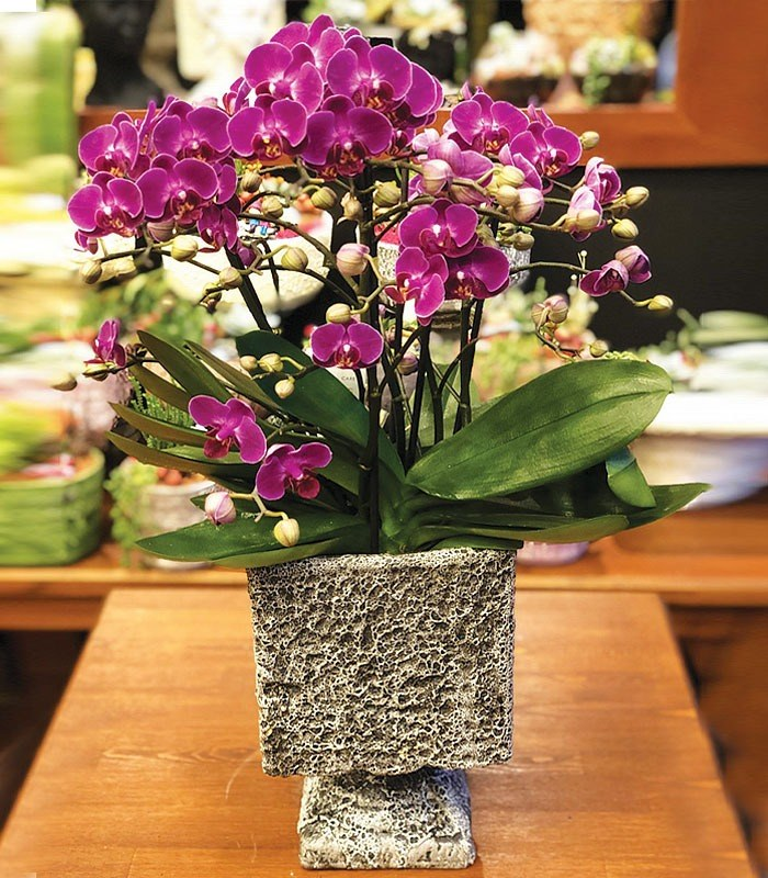 Otantik Orkide