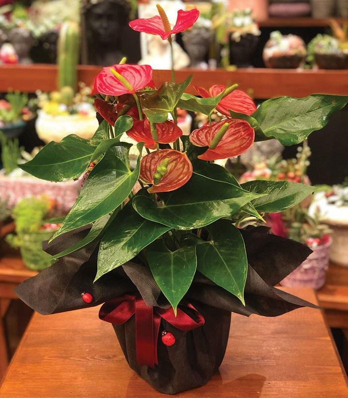 Orta Boy Antoryum Çiçeği