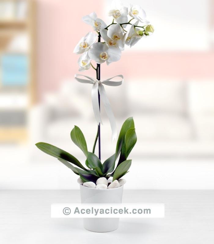 Tek Dallı Orkide Çiçeği