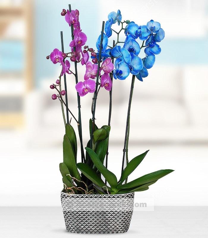4 Dal Mavi Mor Orkide