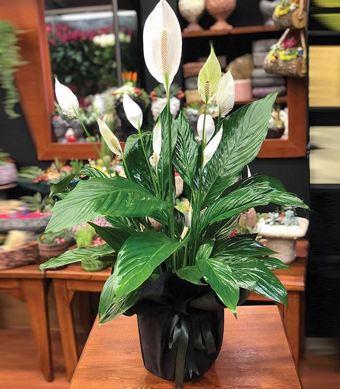 Spathiphyllum ( Barış Çiçeği ) 45cm