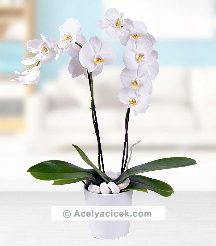 Orkide Çiçeği  (2 Dallı)