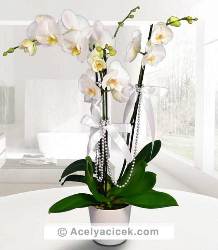 Çiçeklerin Kraliçesi Beyaz Orkide